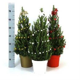Picea glauca December Zinc Red