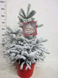 Potted Real Christmas Tree - Blue Spruce - Picea 'Super Blue' Snow Sprayed  80-100cm