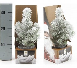 Potted Real Christmas Tree - Pinus pinea 'Silvercrest' Snow sprayed 25-35cm