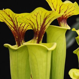 Pitcher Plant Sarracenia Sp. 8.5cm Pot