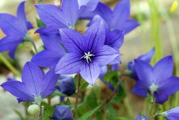 Platycodon grandiflorus Astra Blue
