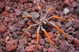 Porto Santo Wolf Spider