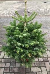 Pot Grown Nordman Christmas Tree 90 - 110cm Tall