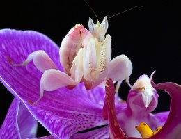 Praying Mantis Orchid