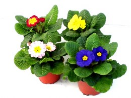 Primrose bedding mix 10cm pot