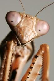 Prohierodula Mantis