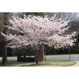 Prunus Miyako Shogetsu - Blushing Bride White Cherry Blossom