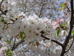 Prunus serrulata 'Shirofugen' - 10 Litre