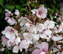 Prunus incisa 'Kojou-no-mai' - Dwarf Cherry Tree 40-60cm 2 Litre