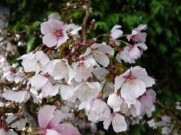 Prunus Incisa Kujou-No-Mai - 7.5 Litre 80cm Half Standard