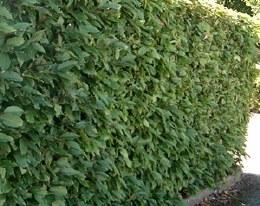 Prunus lusitanica 'Angustifolia' Trough | Portugese Laurel Trough 170-180cm Tall