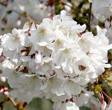Prunus nip Brilliant