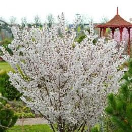 Prunus nipponica 'Brilliant' - Japanese Alpine Cherry Tree 40-60cm 2 Litre
