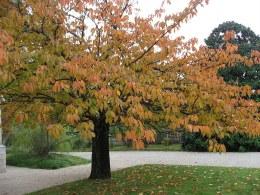Prunus serrula - Tibetan cherry