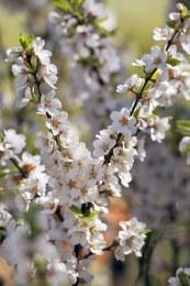 Prunus tomentosa - Nanking Dwarf Cherry 50-60cm