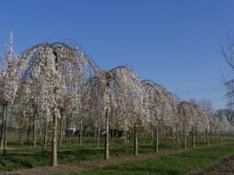 Prunus yedoensis Ivensii  | Yoshino Cherry Ivensii