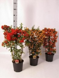 Pyracantha Mix with Berries on Trellis Frame