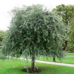 Pyrus Salicifolia Pendula 10L