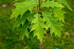 Quercus rubra 'Haaren'