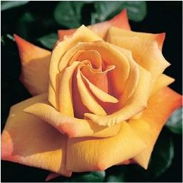 Remember Me Hybrid Tea Rose - 3 Litre