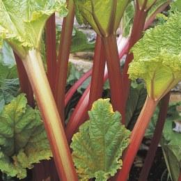 Rhubarb 'Timperley Early'