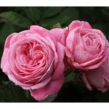 Romance  Floribunda Rose - 3.5 Litre
