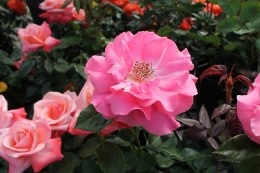 Romance  Floribunda Rose - 3 Litre