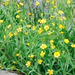 Ranunculus flammula 9cm