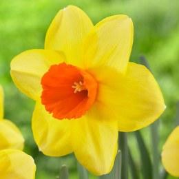 Daffodil - Narcissus Red Devon - 3kg