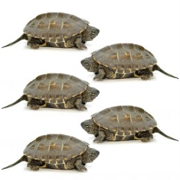 Reeves Turtles