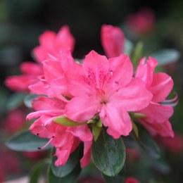 Rhododendron  Blaauws Pink
