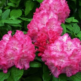 Rhododendron 'Germania' 30-40cm 5ltr