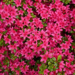 Rhododendron Anne Frank 2.5Lt