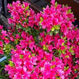 Rhododendron 'Kermesina' | Japanese Azalea 'Kermesina'