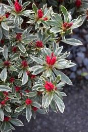 Rhododendron Silver Sword