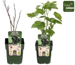 Blackcurrant Ribes nigr Ben Nevis P13