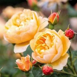 Roald Dahl David Austin Fragrant Rose 5 Litre