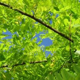 Robinia Pseudoacacia Frisia - Golden Acacia Tree - 10 Litre