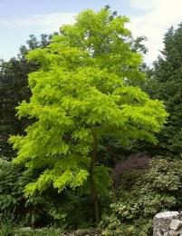 Robinia pseudoacacia 'Umbraculifera' | False Acacia Tree