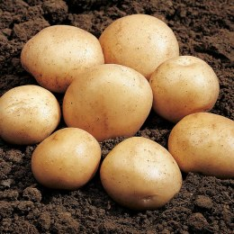 Rocket Potato 10 Pack - First Early