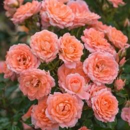 Flower Power Patio Rose - 3 Litre
