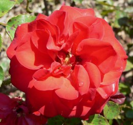 Evelyn Fison Floribunda Rose - 3 Litre