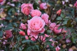 Fascination Floribunda Rose - 3.5 Litre