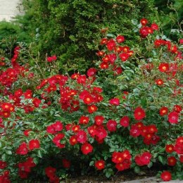 Flower Carpet Scarlet  - Standard Rose - 10 Litre