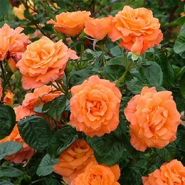 Newsflash Climbing Rose 6 Litre