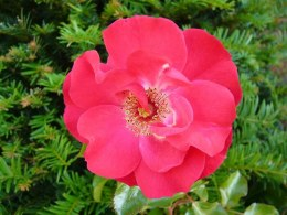 Rosa 'Olympic Flame' Climbing Rose - 5 Litre