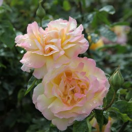 Peace - Standard Rose - 10 Litre