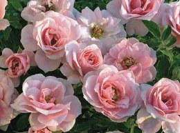 Pink Sunblaze Patio Rose 4.5 Litre