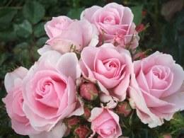 Happy Silver Wedding Hybrid Tea Rose - 4.5 Litre
