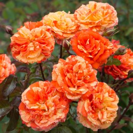 Oranges and Lemons Floribunda Rose - 3 Litre